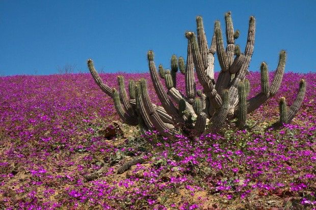 Acatama the miracle of the flowers in the desert