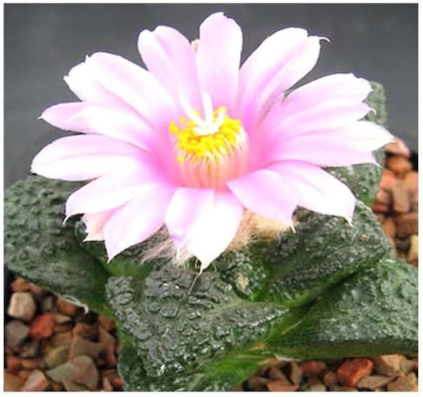 MySeeds.Co - (3 Types) Flowering Cactus Seeds Collection: Ariocarpus Species (Living Rocks), Conophytum Species Mix, Echinopsis Species (sea-urchin cactus, Easter lily cactus) SEEDS, $9.95 (http://www.myseeds.co/3-types-flowering-cactus-seeds-collection-ariocarpus-species-living-rocks-conophytum-species-mix-echinopsis-species-sea-urchin-cactus-easter-lily-cactus-seeds/)