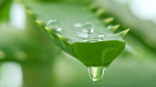 Güzellik yazılarımız büyük bölümünde Aleo Vera bitkisinden söz ediyoruz. Birçok alanda kullanılan Aleo Vera suyunu kendiniz yapabilirsiniz. Böylece yüzde yüz doğal bir ürün üretmiş olursunuz.