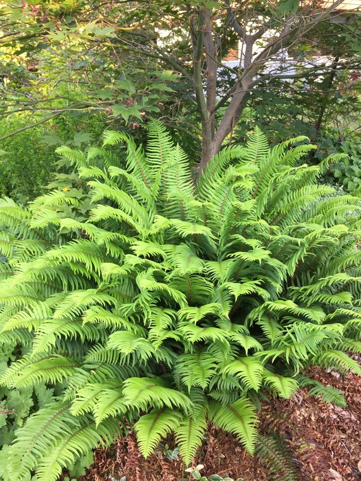 268 best images about plants must to have iii   ferns