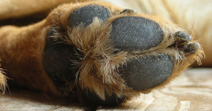 Infección en las almohadillas de las patas de los perros. Así como los pies humanos son proclives a desarrollar varias infecciones, las almohadillas de las patas de los perros también son vulnerables a infecciones. Las infecciones de las almohadillas de las patas pueden empeorar o difundirse si no son tratadas. Por lo tanto, es importante para los dueños revisar regularmente las patas de sus perros y ...