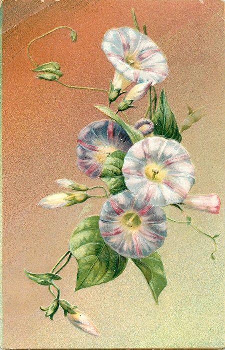 Morning glory (or similar flower) ~ 1908