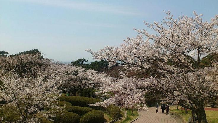 石巻市日和公園の桜が満開(*^^*)