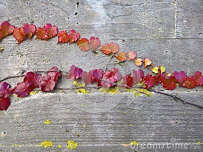 A shot of autumn leaves growing attached to a concrete wall.