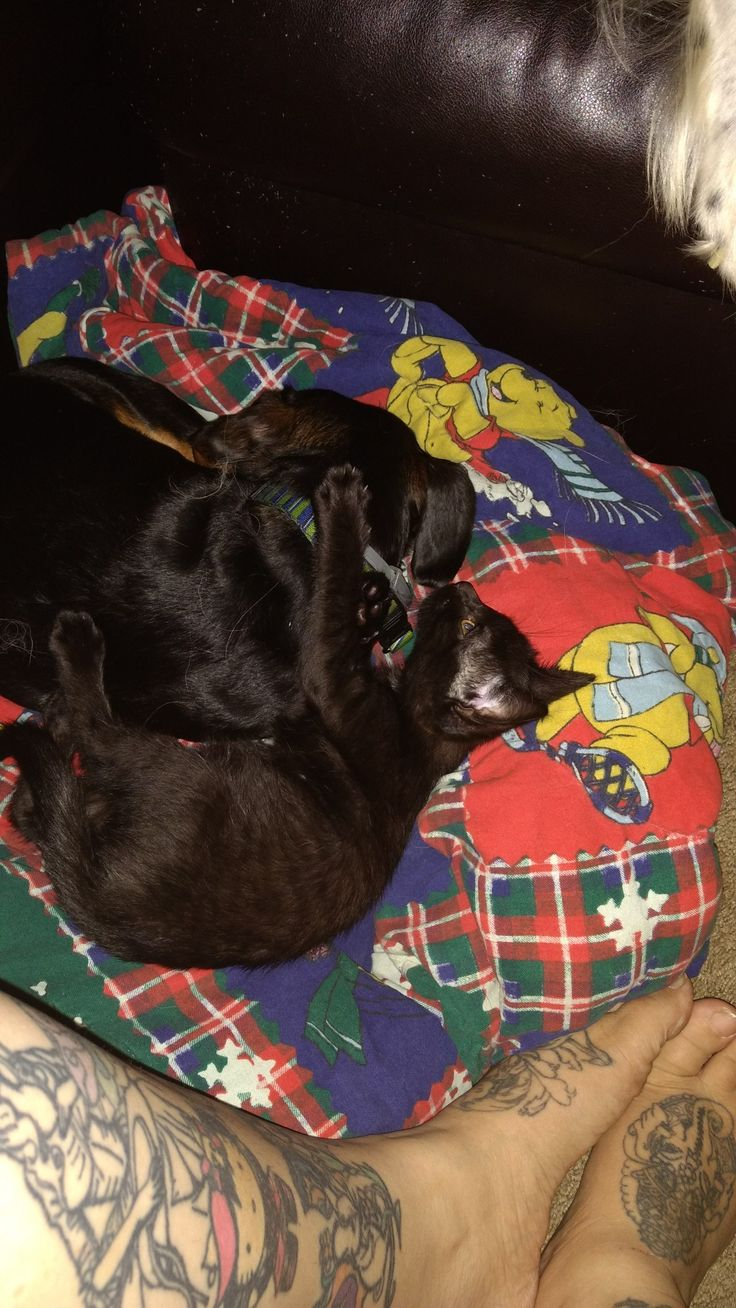 Dinah the Dachshund has adopted the black tabby kitten Jasper... They cuddle and play a lot. <3