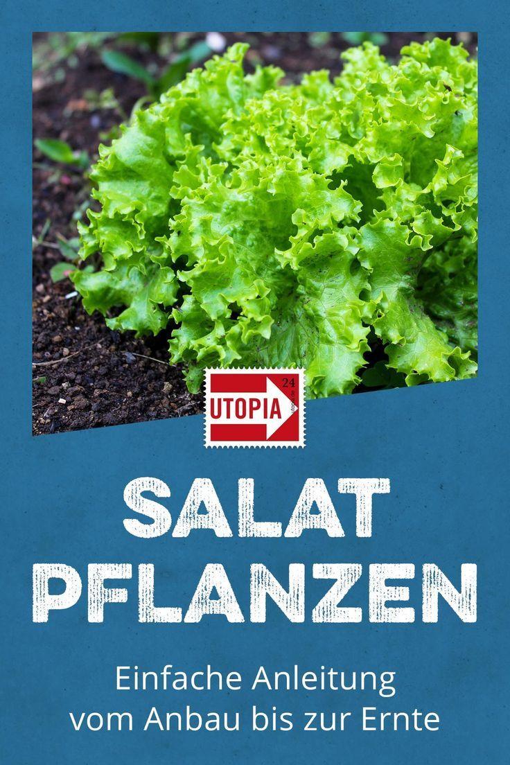 Alat Pflanzen Einfache Anleitung Vom Anbau Bis Zur Erntesalat Anpflanzen Salat Kannst Du Einfach Auf Dem Balkon Im Salat Pflanzen Pflanzen Salat Anpflanzen