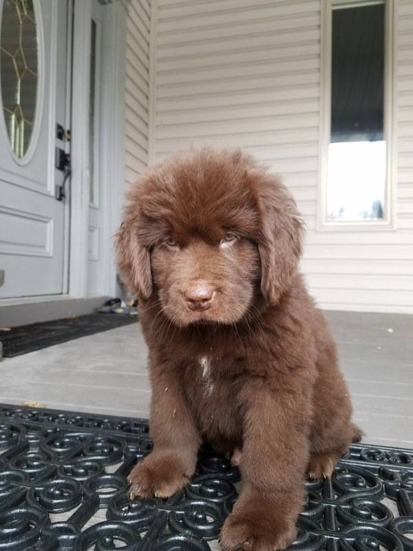 Newfoundland Puppy For Sale In Goodrich Mi Adn 63042 On Puppyfinder Com Gender Male Age 8 Weeks Old Newfoundland Puppies Puppies For Sale Newfoundland