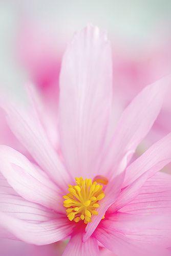 Begonia boliviensis pink