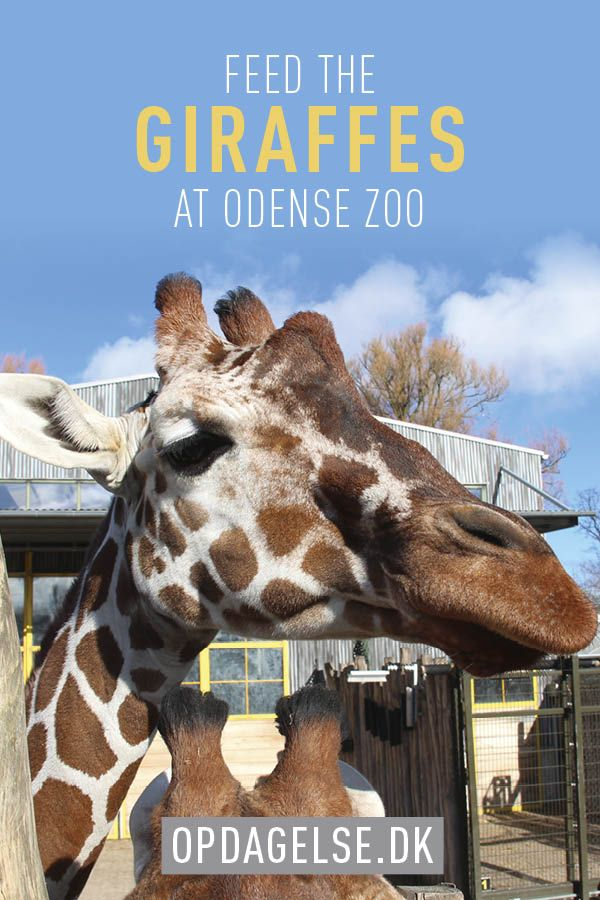 Feed the Giraffes in Odense Zoo in Denmark. A fantastic experience for the family
