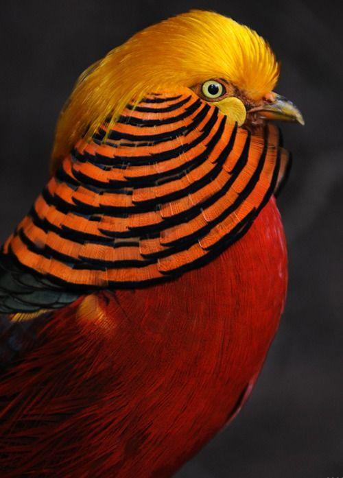 a-n-i-m-a-l-p-l-a-n-e-t: Chinese Golden Pheasant
