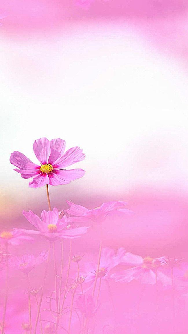 Wallpaper Hd Floral ดอกไม้พื้นหลังสีชมพูสีม่วง H5 H5 พื้นหลัง ดอกไม้ สีชมพู