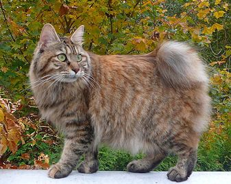 The Kurilian Bobtail is a natural breed of cat tracing its origins to the Russian Island of Sakhalin and to the Kuril Islands, an archipelago of approximately 56 volcanic islands, stretching 700 miles between the Russian peninsula of Kamchatka and the Japanese island Hokkaido, separating the Sea of Okhotsk from the Pacific Ocean.