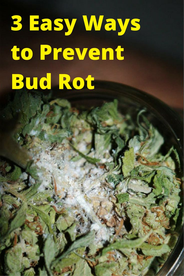 3 Easy Ways You Can Prevent Bud Rot In Your Weed