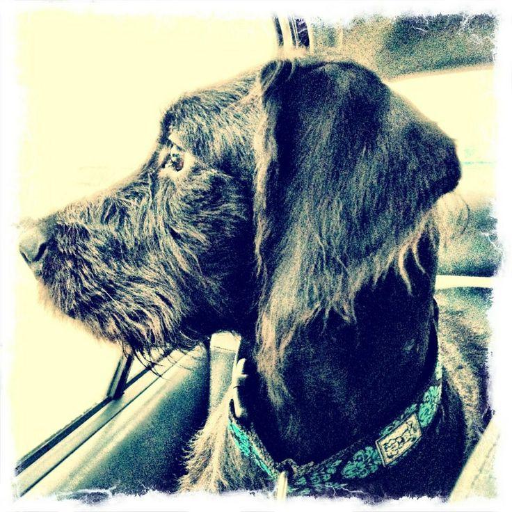 Mon chien caniche royal X boxer