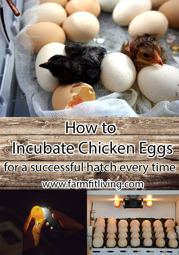 How To Incubate Chicken Eggs For A Successful Hatch Every Time Chicken Eggs Hatching Chickens Incubating Chicken Eggs