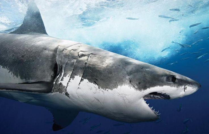 EL Gran Tiburon Blanco, en peligro de extinción. En recientes expediciones realizadas en mares sudafricanos y australianos, fue imposible encontrar ejemplares que superen los 6 metros de longitud. En otras palabras, en la actualidad no existen tiburones blancos que estén en condiciones ideales para su reproducción.