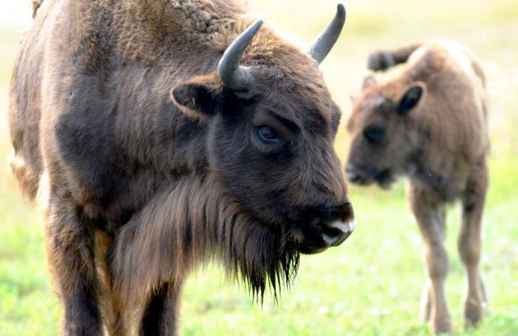 A grown and a young European Bison roam in a wildlife park outside Berlin, Germany. The species have slowly disappeared over centuries due to hunting, and declined even further during the World Wars. They exist only in zoos and nature preserves.
