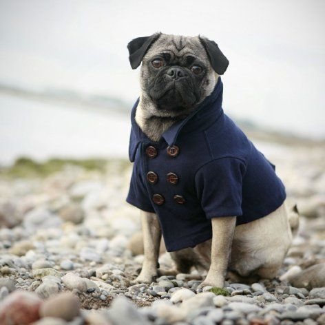 Wellington NEEDS a double breasted pea coat!Dogs Coats, Puppies, Peas Coats, Pets, Jackets, Pugs, Peacoats, Blue Dog, Animal