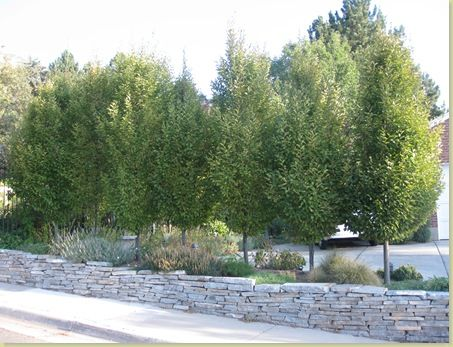 The best privacy trees what to plant if you see to much for Great small trees for landscaping
