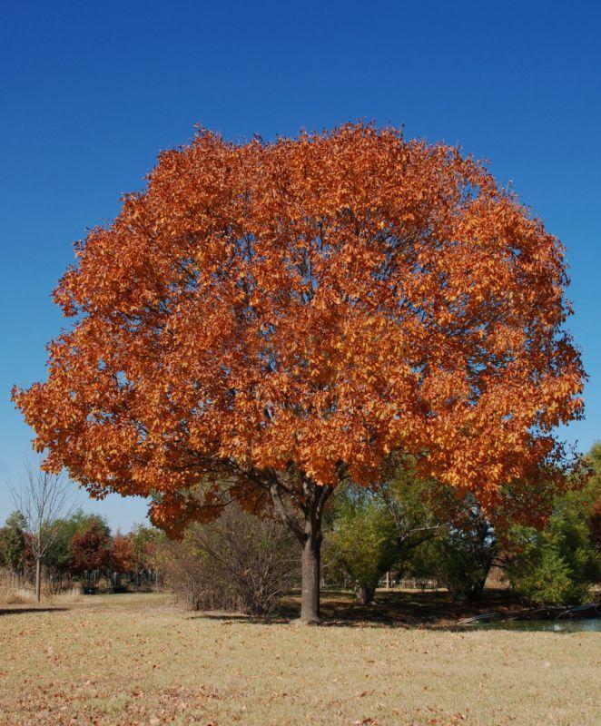 Lacebark Elm In Fall Colors Trees Amp Shrubs Texas Ash