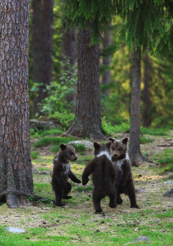 3 Bears Dancing