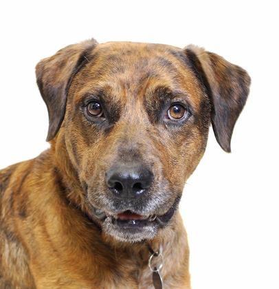 Adopted! Cruiser - Labrador Retriever mix - Truckee, CA. 3 yrs old