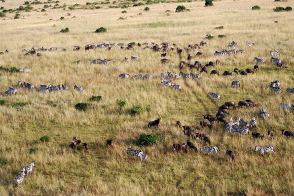 Kenia: Große Tierwanderung in der Masai Mara - Mehr dazu: http://www.reisefernsehen.com/reise-news/reise-news-aus-aller-welt/kenia-groe-tierwanderung-in-der-masai-mara.php