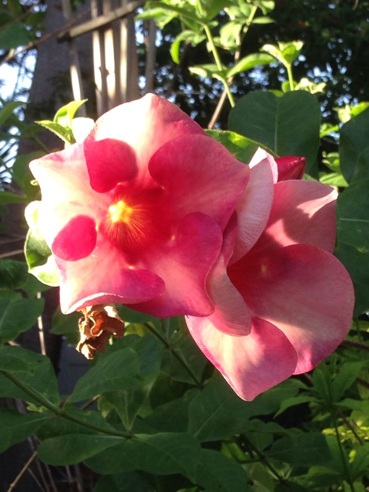 9 best a really pretty hibiscus images on pinterest hibiscus pretty flower from longboat key mightylinksfo