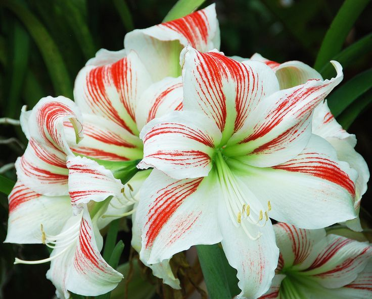 635. Amaryllis flowers in New York Botanical Gardens, Bronx, NY ...