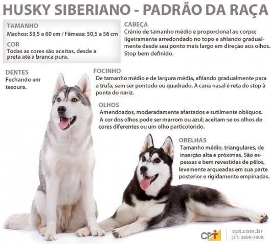 Padrão da raça Husky Siberiano