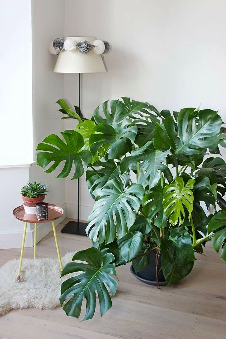 If you've got space in your bathroom this large cheese plant would be a beauty! Love a bit of greenery in any part of the house.