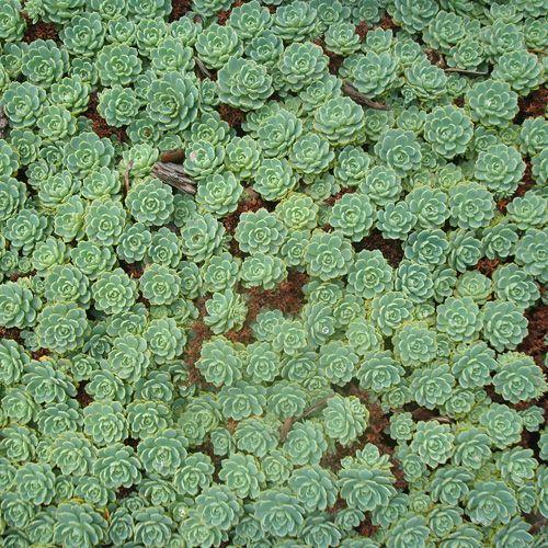 SEDUM pachyclados (Sédum - Orpin) : Vivace à feuilles charnues. Difficile d'imaginer des plantes plus accommodantes, particulièrement en sols secs et rocailleux. Malgré leur popularité, beaucoup restent encore à découvrir dans les utilisations les plus variées. Jolies rosettes arrondies vert bleuté formant un tapis compact bien régulier. Fleurs blanches.