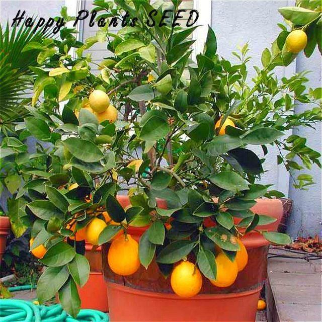 50 единиц / серия Бонсай Семена High Rate Lemon Tree Fruit завод Выживание Семена растения Бонсай Семена Лимонный Главная Gatden