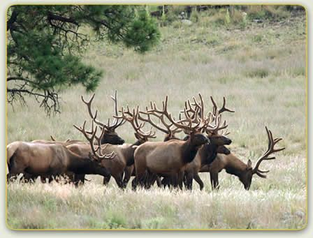 elk pictures - Google Search