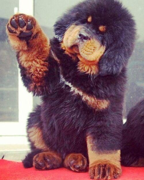 Tibetan Mastiff AWWWWW!!!
