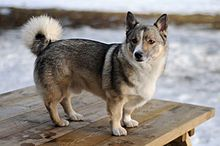 """The Swedish vallhund also called """"västgötaspets"""" is a breed of dog. It is believed that the Swedish vallhund distinguished itself during the age of Vikings, more than 1,000 years ago. Known as the """"Viking dog"""", the vallhund was bred to herd cattle, catch vermin (such as rats), and guard the home. The vallhund was also referred to as """"the little cattle dog of the Vikings""""."""