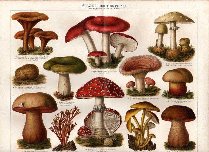 die besten 17 ideen zu giftige pilze auf pinterest vintage illustration zauberpilze und. Black Bedroom Furniture Sets. Home Design Ideas