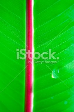 Banana Leaf with Dew Drop Royalty Free Stock Photo