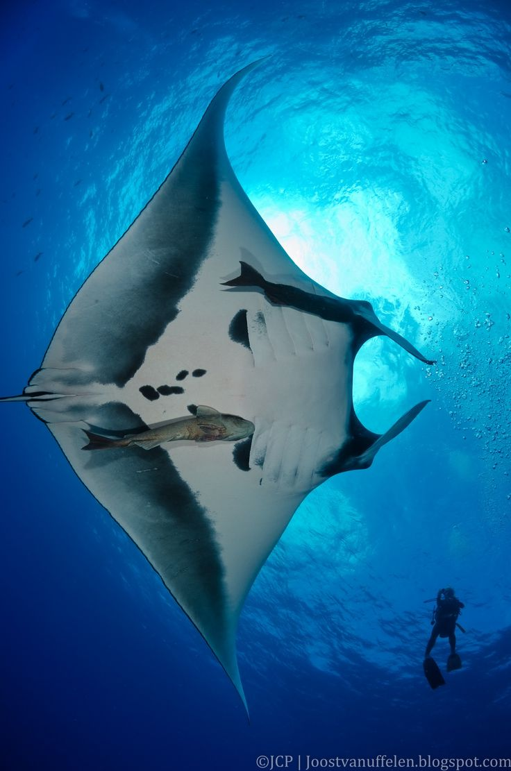 Manta ray swimming underwater with its dorsal fins spread open viewed - Photo In Snell S Window By Joost Van Uffelen On 500px Under And Over Water Pinterest Manta Ray Window And Animal