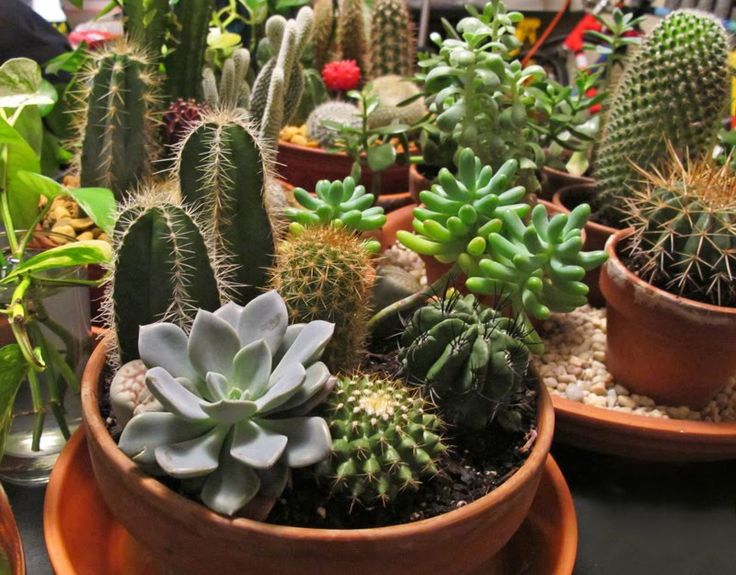 indoor cactus, images | cookieangel, Apr 23, 2013