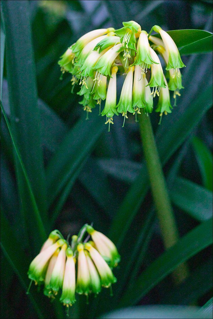 Clivia gardenii, Gardenii Mix.  Colorado Clivia plant number 636.