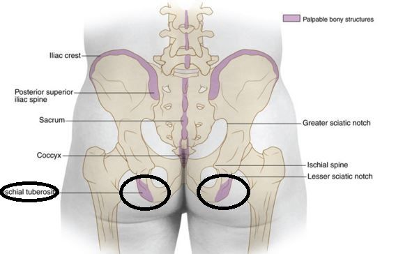 ischial tuberosity surface anatomy in position to human body, Human Body