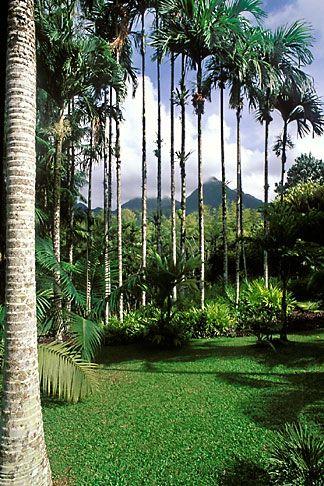 Martinique jardin de balata betel nut palms areca for Jardin west palm