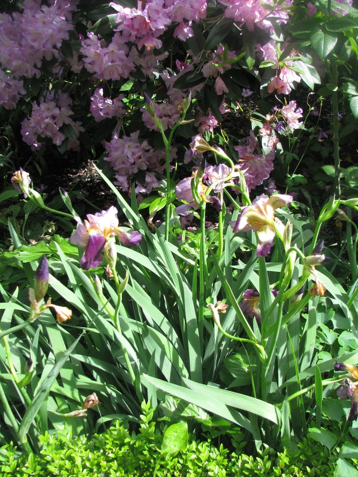Iris and Rododendrums