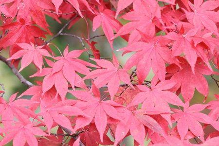 色々な紅葉の色を楽しむ為に!モミジだけじゃない紅葉の種類