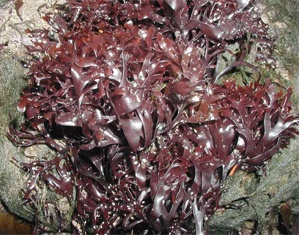 Lots of edible seaweeds with recipes.