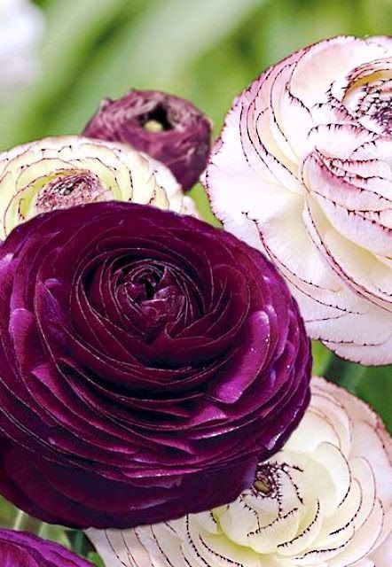 Purple Persian Buttercup ~ Ranunculus..!!