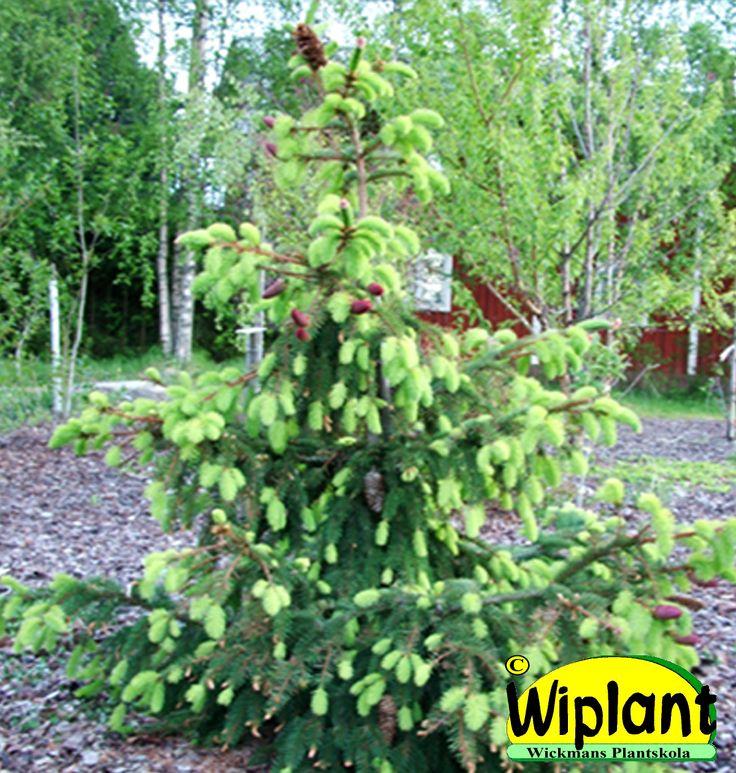 Picea abies 'Acrocona', Kottegran. Något hängande grenar, dekorativa kottar. Höjd: 2 m. Bredd: 2 m.