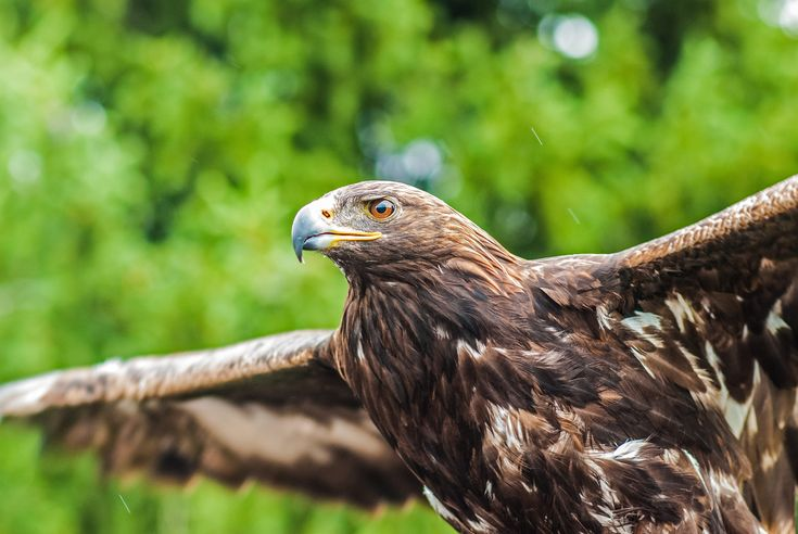 [#HD Wallpaper] A close-up of a hawk preparing to take flight - #Wallpaper #HarrissHawk #Hawk #Bird Bird of prey, High-definition video, Eagle, High-definition television  - Photo by Jeremy Cai @j (unsplash)  - Follow #extremegentleman for more pics like this!