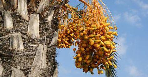 Cómo hacer crecer un árbol de dátil de una semilla. Los dátiles son frutas dulces y carnosas que crecen en la palmera datilera. Son deliciosos solos, en los cereales o incluidos en tu receta favorita. La palmera datilera crece en en climas cálidos como en Arabia Saudita, Egipto y en los Estados Unidos en California y Arizona. La fruta se produce en un árbol hembra que ha sido polinizado por un ...